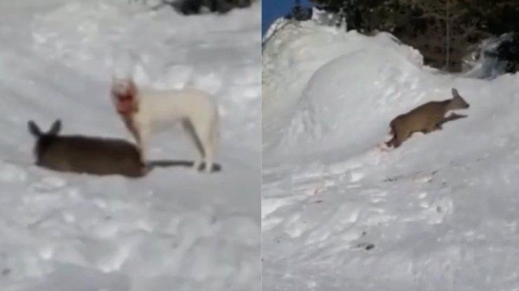 Krvavý masakr na sjezdovce: Pes před zraky lyžařů roztrhal srnu, jeho českou majitelku čeká trest