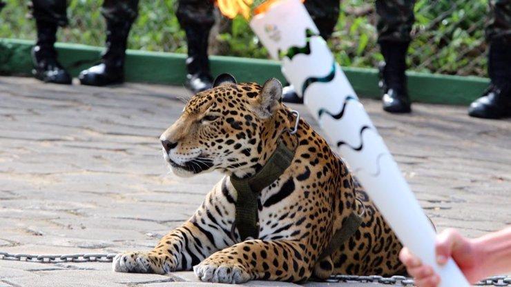 Jaguára potřebovali na slavnostní ceremonii, hned potom ho ale zastřelili