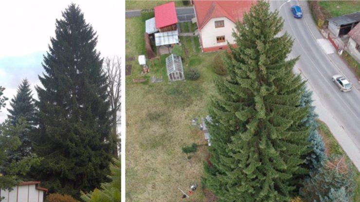 Strom, který bude letos zdobit Staromák: Vyhrál 24metrový smrk ze Semil