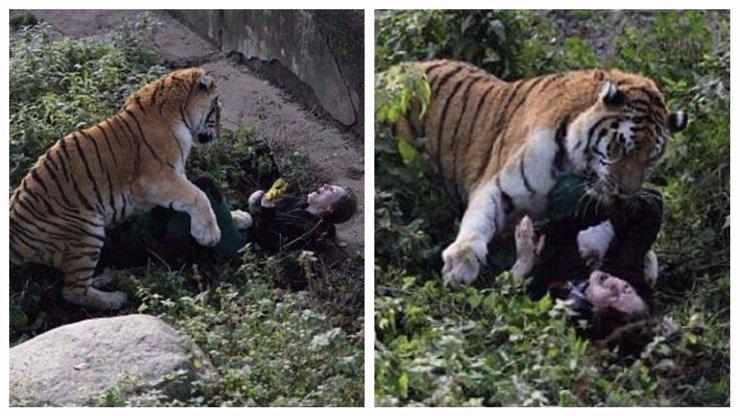 Tygr, který brutálně napadl svou ošetřovatelku: Neutratí ho, víme proč