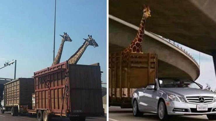 Auto převáželo žirafy, jedna si usekla hlavu o most. Co vám to připomíná?