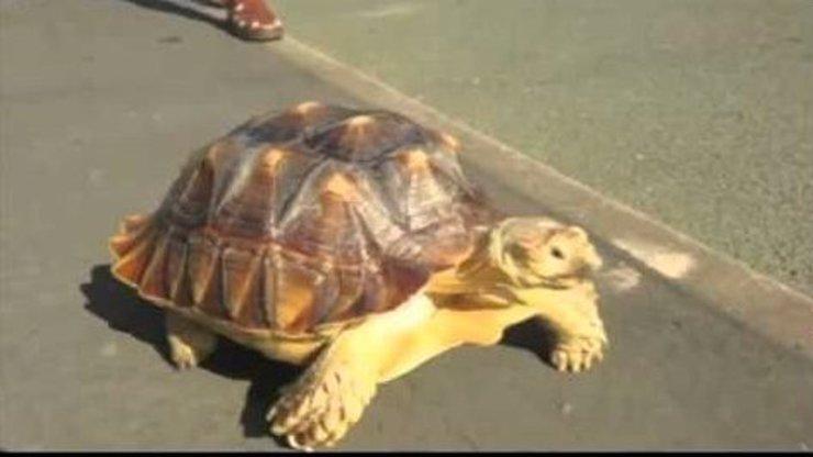 To nepochopíte: Tento muž denně venčí svou želvu. Neuvěříte, jak dlouho mu to trvá!