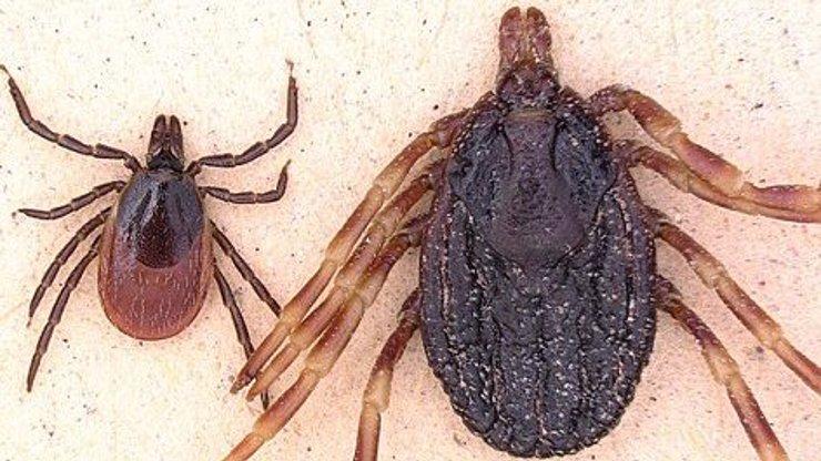 Africká klíšťata, která mohou přenášet skvrnitý tyfus, našli v Německu. Kdy dorazí k nám?
