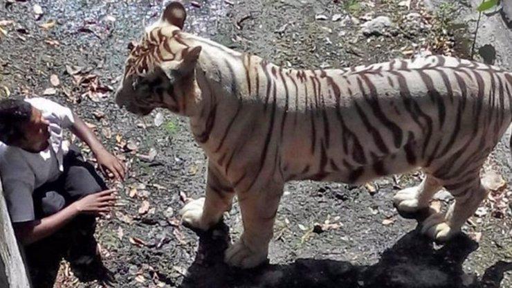 Bílý tygr roztrhal na kusy opilého muže: Svědek natočil děsivý útok na mobil!