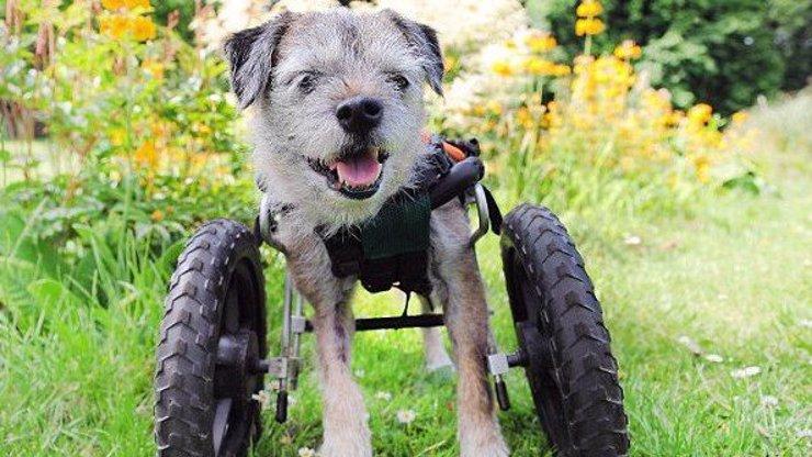 Psí invalida našel novou naději díky vozíčku! Podívejte se na jeho veselé fotky
