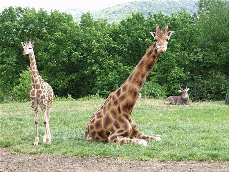 Česká zoo chce utratit zdravou žirafu: Lidé se bouří!
