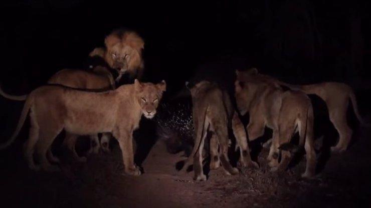 Jak se dokáže jeden statečný dikobraz ubránit sedmnácti lvům? Vysvětlení ve videu