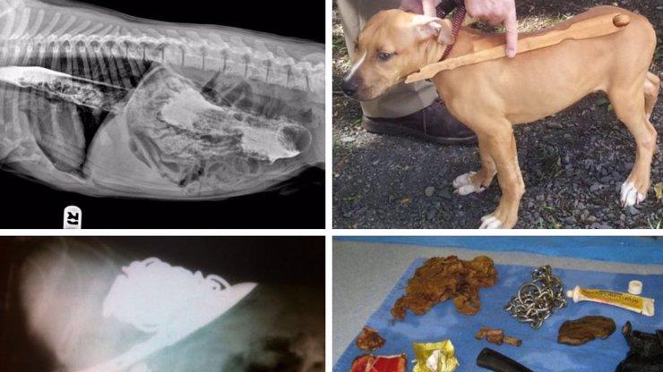 Víte, co spolkl váš pes? Podívejte se na neuvěřitelné rentgenové snímky z útrob několika zvířecích miláčků
