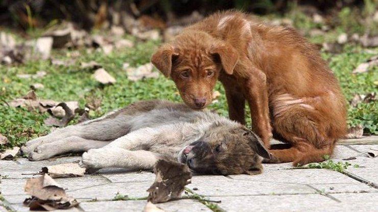 Tak tohle bolí: Tříměsíční štěně se odmítá hnout od své sestry, kterou přejelo auto
