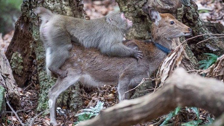 Makak se pokoušel znásilnit jelena: Netrefil správnou díru! Vědci jsou v šoku