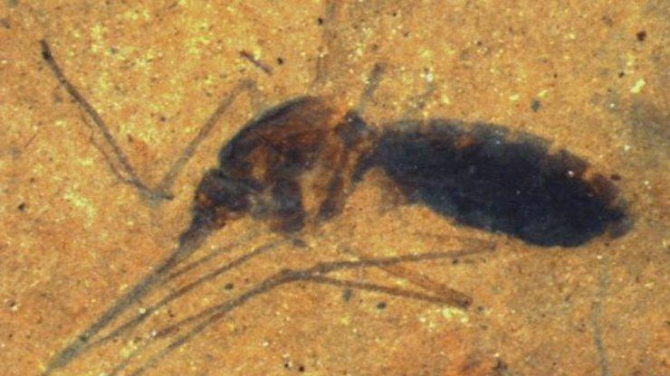 Unikátní nález v Montaně: Vědci našli komára starého 46 milionů let, ještě je plný vycucané krve