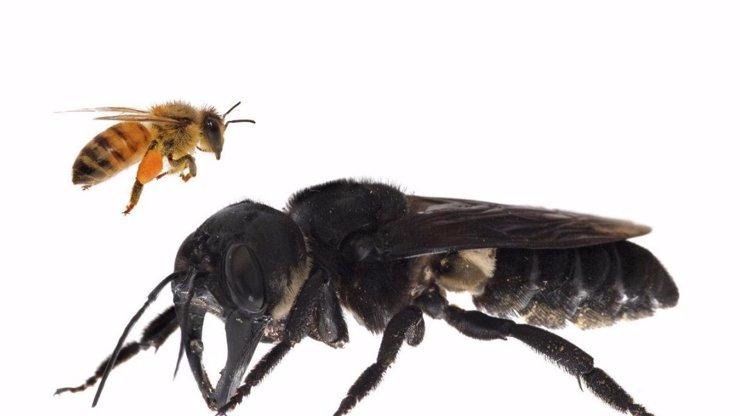 Byla považována za vyhynulou: Vědci objevili VČELÍ PŘÍŠERU!