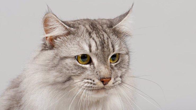 V Belgii žena nakazila koronavirem kočku: Zvíře mělo dýchací a zažívací potíže