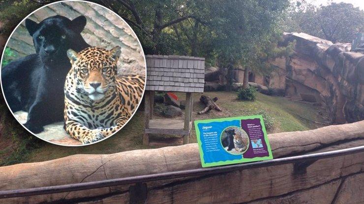Batole spadlo do výběhu jaguárů! Teď je v kritickém stavu v nemocnici