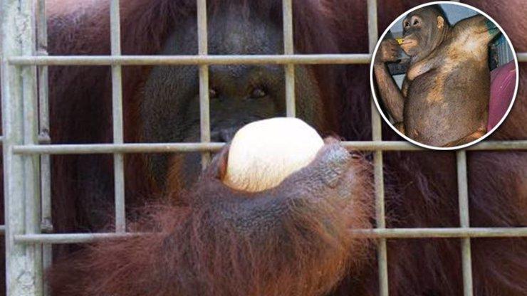 Orangutaní prostitutka Pony (24): Našli ji nalíčenou, spoutanou a znásilněnou v nevěstinci
