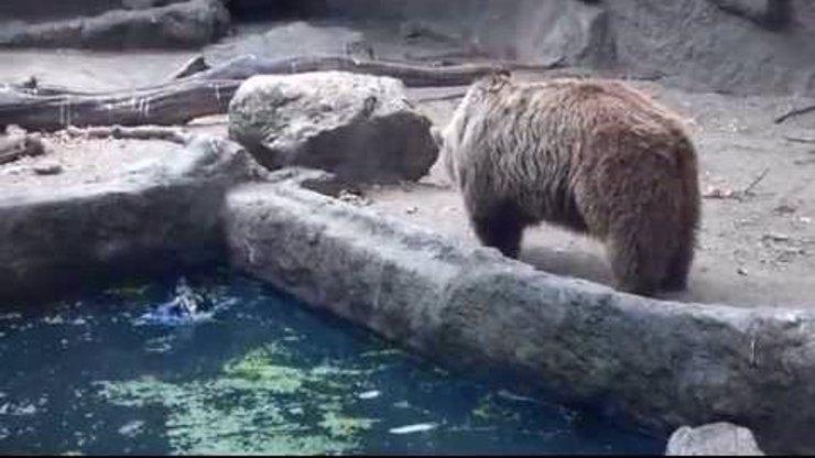 To musíte vidět! Ve výběhu medvěda v zoo se topila vrána. Neuvěříte, co ten medvěd udělal!