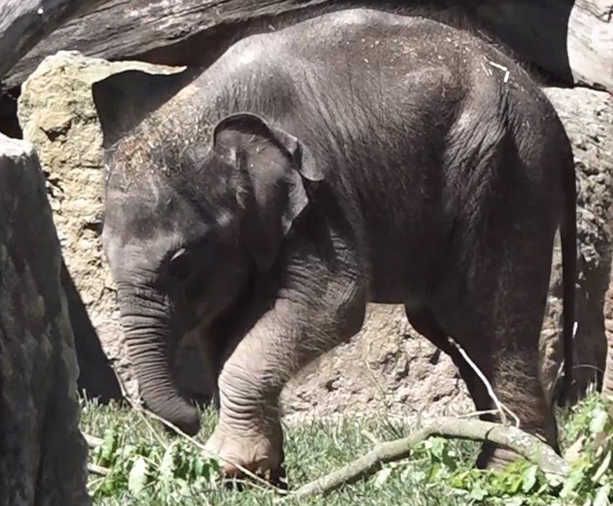 Dvě sloní holčičky a další mláďata: Roztomilé video z pražské zoo vám zvedne náladu