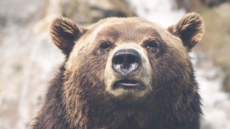 Saša musel pít vlastní moč, aby přežil: Medvěd si ho v brlohu měsíc šetřil k jídlu!
