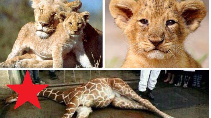 Masakr v Kodaňské zoo: Po zabití nebohého žirafího samečka neváhali zlikvidovat další čtyři lvy! Byla mezi nimi i lvíčata!