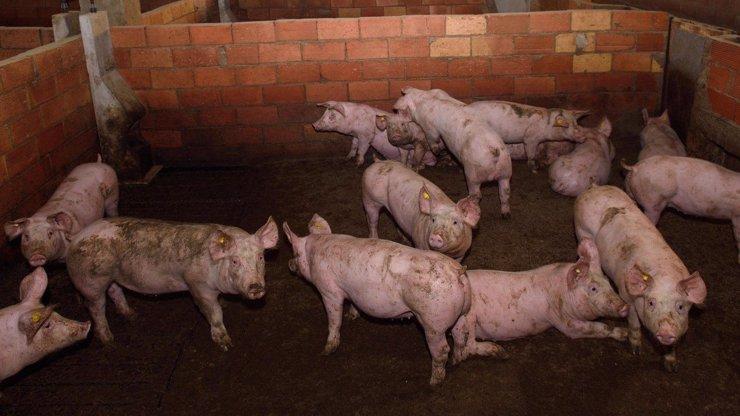 Hrůzný případ: Maďarský patolog krmil prasata lidskými těly, na zločin upozornili zloději