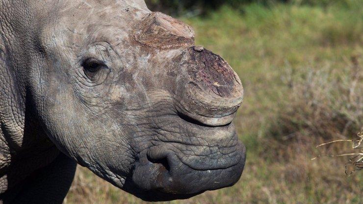 Děsivé nájezdy pytláků na nosorožce v Africe: Prášek z rohů se prodává dráž než kokain!