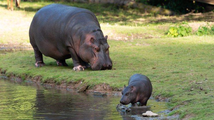 Historický okamžik v Safari Parku Dvůr Králové: Mládě hrocha se narodilo před zraky návštěvníků