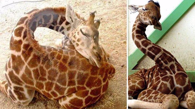 Žirafy jsou ti nejroztomilejší spáči na světě! Přesvědčte se v galerii
