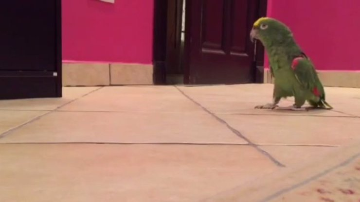Tenhle papoušek se směje jako dokonalý padouch! Je děsivý, nebo nehorázně vtipný? Rozhodněte sami!