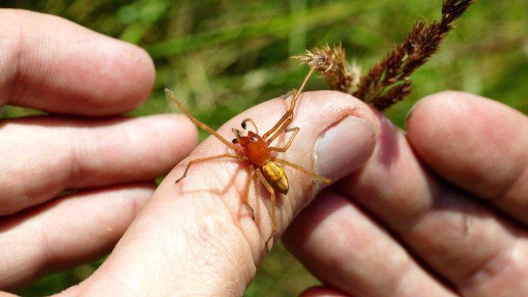 Nejjedovatější pavouk Česka zápřednice: Nejrizikovější je v srpnu, říká odborník Melichar