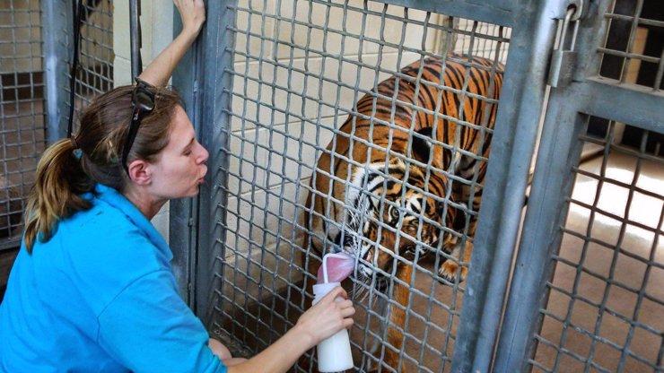 Tragédie v americké zoo: Tygr tu roztrhal ošetřovatelku!