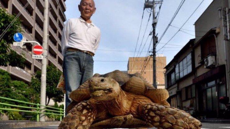 Godzilla?! Stařík venčí svou obří želvu přímo v ulicích Tokia!