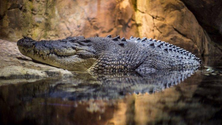 Krokodýl, který utekl v Ostravě, má jméno! Policie po plachém Mirečkovi stále marně pátrá