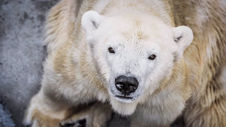 Smutek v pražské zoo: Známá medvědice Bora je po smrti, bylo jí 33 let
