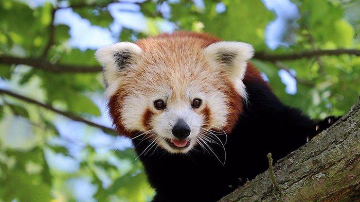 Zaběhla se nezbedná panda: Zoo v Plzni prosí o pomoc s pátráním po chlupáčovi