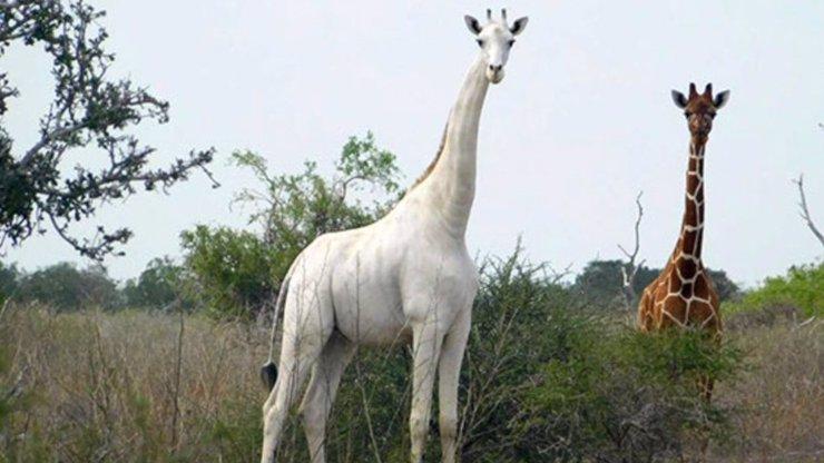 Zrůdní pytláci zastřelili vzácné bílé žirafy: Na celém světě byly jenom tři