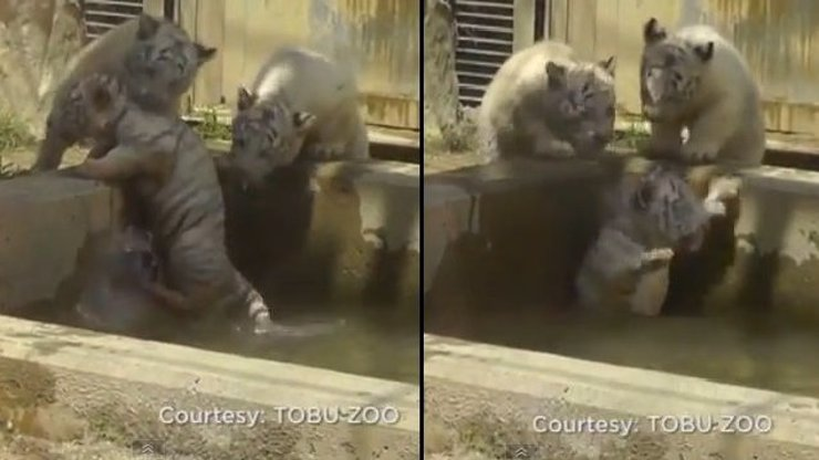 Kotě přes palubu! Vzácného bílého tygra vytáhli z vodní nádrže až jeho sourozenci!