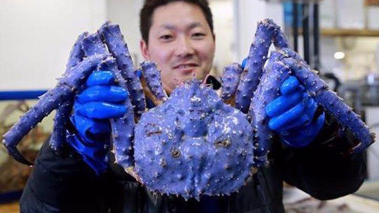 V Japonsku našli v jednom velkoobchodě obřího mutanta podivuhodné barvy. Kde se tahle mořská příšera vzala?