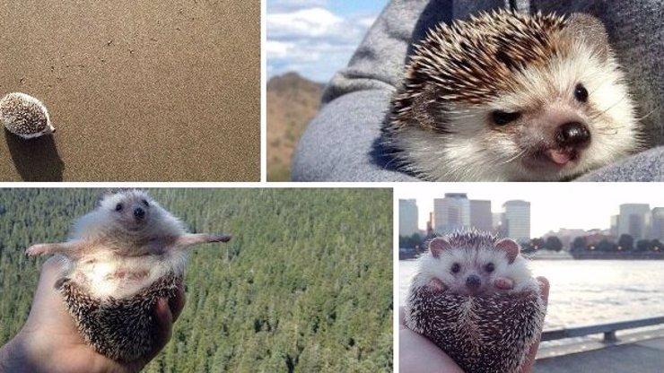 11 skvělých fotek ježka cestovatele: Netradiční domácí mazel Biddy je nyní hitem internetu