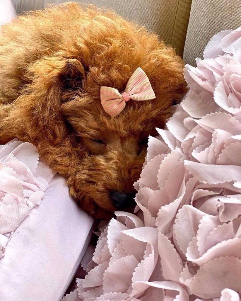 Pořádná dávka roztomilosti: Monika Babišová navlékla štěňátko Gigi do růžové