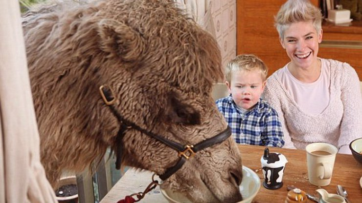 Netradiční domácí mazlíček jedné rodiny: Rodina z Anglie žije s velbloudem, jí s nimi u stolu