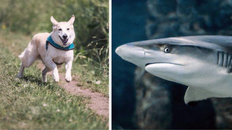 Žralok napadl muže: Páníčkovi zachránil život pes, který si otevřel auto a doběhl k vodě