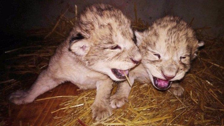 Jsou po smrti! Proč lvíčata v liberecké zoo nečekaně zemřela?