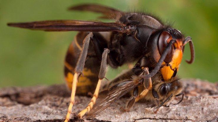 Obří sršeň z Asie trhá na kusy americké včely: Co by mohla způsobit příchodem do Česka