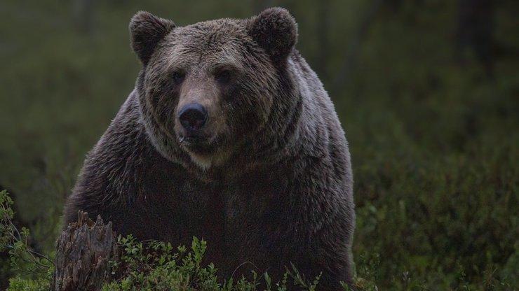 Ženu na dovolené roztrhal medvěd: Vlezl za ní do stanu, v němž spala