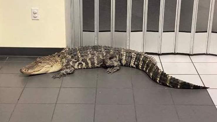Zvláštní překvapení na poště: Vyrazil si aligátor vyřídit zásilku?