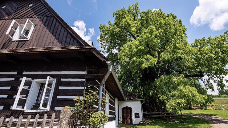 Anketu Strom roku vyhrála Zpívající lípa! Má více než 700 let a sedával pod ní i Alois Jirásek